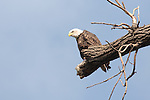 A Bald Eagle sits atop its perch near the shoreline of Lake Nokomis seemingly watching the edge of the water