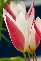 Tulipa clusiana 'Lady Jane' red and white striped spring bulb, tulip species