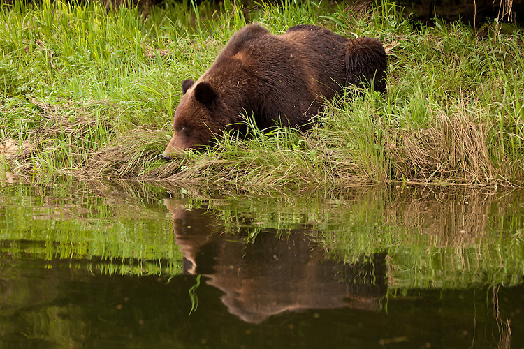 Grizzly Bear and reflection lying next to some water