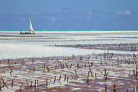 Jambiani, Zanzibar, Tanzania.  Zanzibar's Eastern Shore at Low Tide.  The protective reef is about a mile offshore.  Rows of sticks in the foreground anchor rows of seaweed planted by village women.  After harvesting, it will be dried and exported to Asia.