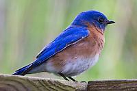 Eastern Bluebird, May 4, 2011