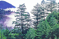 Mount Tamalpais landscape, Douglas Fir trees and fog