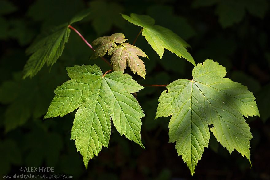 Sycamore sapling {Acer pseudoplatanus} Isle of Mull, Scotland, UK. June.