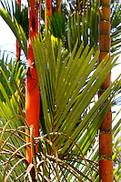 Palm, trees, tropical, plants, green, leaves, red, plants, Phuket, Thailand, N A Ebden, photo