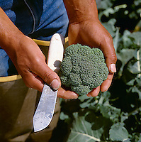 Agriculture - Produce, Broccoli, Fresh cut with hands and knife / Salinas Valley, California, USA.  MR