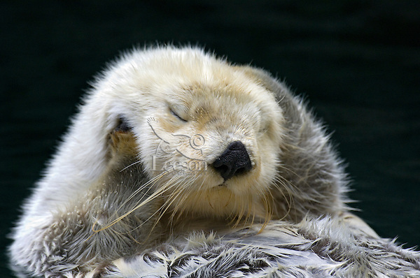 Sea Otter (Enhydra lutris) grooming.