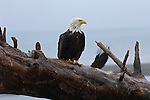 A bald eagle perched on a tree in Homer, Alaska.