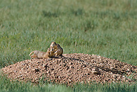 673030108 a wild pair of utah prairie dogs cynomys parvidens a threatened species  feeds and relaxes by its burrow in bryce canyon national park utah united states