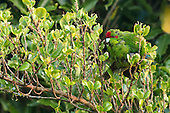 Red-crowned Parakeet, Tiritiri Matangi, New Zealand