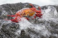 Sally Lightfoot crab, Punto Espanosa, Fernandina Island, Galapagos Islands, Ecuador