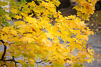 Close-Up Photo of Yellow Maple Leaves in Fall