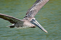 Juvenile Brown Pelican in Flight