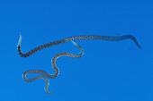 Blackworm Oligochaete Annelid (Lumbriculus variegatus) regenerated heads and tails.