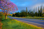 Jacaranda and cypress trees in the springtime, Upcountry Maui