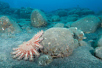 Kona, Big Island of Hawaii, Hawaii; a crown-of-thorns sea star moving around rocks on the ocean floor
