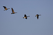 four Canadian geese flying in sky