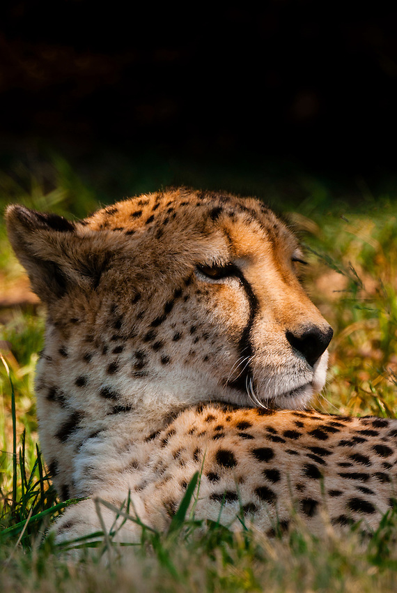 Cheetah, Lion Park, near Johannesburg, South Africa.