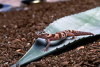 A Western Banded Gecko (Coleonyx variegatus) on the leaf of an Agave (Agave americana), Tucson, Arizona.