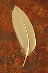 White feather on rusty sheet