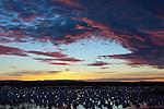 Snow Geese, Chen caerulescens, Bosque del Apache NWR, New Mexico