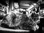Closeup shot of a cat in a pub in Amsterdam