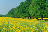 Golden Ragwort field (Senecio aureus) along a row of windbreak trees, Kentucky, USA.