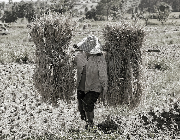 A woman carries two budles of straw through a field in Thailand