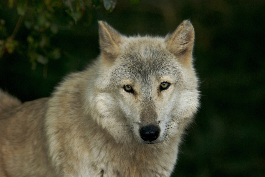 Gray Wolf Portrait in Natural Habitat
