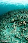 Stigmate de la p&ecirc;che &agrave; la dynamite aux iles Banggais<br /> <br /> Iles Banggais, Sulawesi, Indon&eacute;sie, Mission Banggai Cardinal Fish, Mai 2008, Act for Nature - Musee oceanographique de Monaco