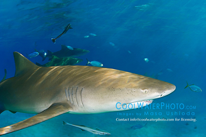 Lemon Shark, Negaprion brevirostris, West End, Grand Bahama, Atlantic Ocean
