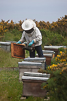 Europe/France/Bretagne/56/Morbihan/ Belle-Ile-en-Mer/Sauzon: Richard Laurance apiculteur - Miel de Belle-Ile