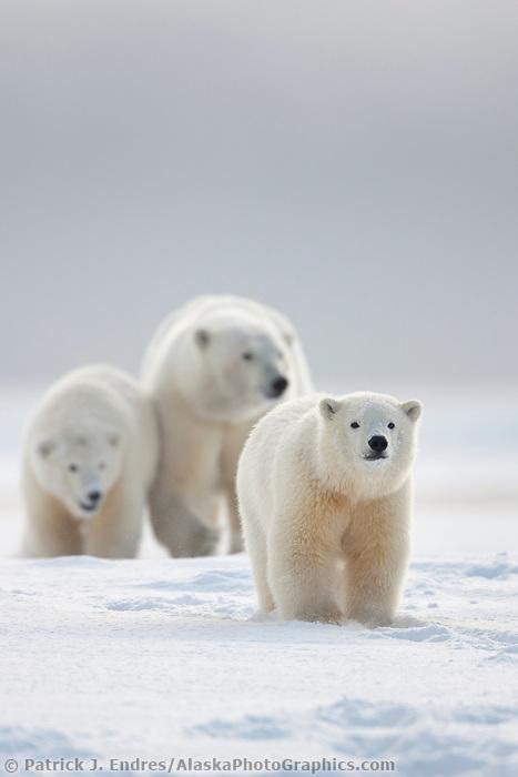Polar bear sow and cubs walk on a snow covered island in the Beaufort Sea, arctic, Alaska.