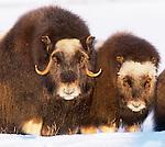 Muskox, Arctic Circle, Alaska