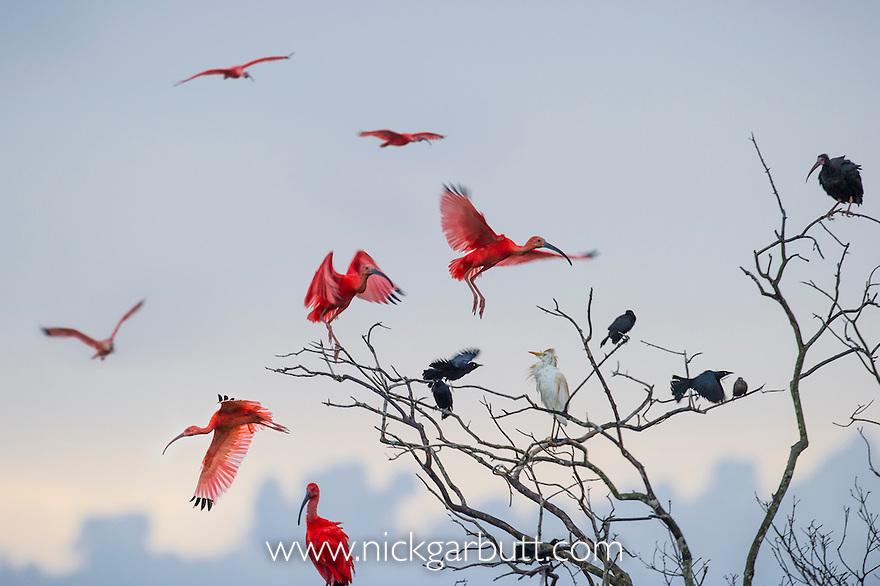 Scarlet Ibis (Eudocimus ruber) flying into roost site at dusk. Hato La Aurora Reserve, Los Llanos, Colombia.