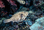 Milne Bay, Papua New Guinea; Map Puffer (Arothron mappa), to 60 cm (2 ft.),  solitary, live in lagoon and seaward reefs in 4-30 meters, found in E. Africa to Samoa, S.W. Japan to Great Barrier Reef and New Caledonia , Copyright © Matthew Meier, matthewmeierphoto.com All Rights Reserved