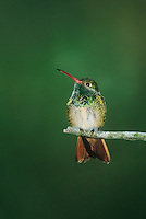 549840020 a wild buff-bellied hummingbird amazilla yucatensis sits on a mesquite tree branch on a ranch in the rio grande valley of south texas