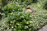 Shade garden of hellebores, variegated vinca, small stone water feature pond, daffodil foliage, columbine leaves for  a serene green oasis