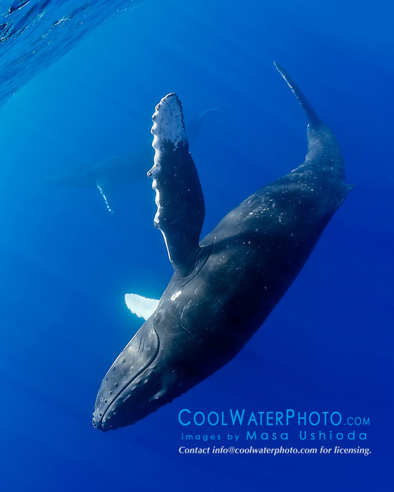 humpback whale, Megaptera novaeangliae, adult female, swimming upside down, pursuing male whale in background, Hawaii, Pacific Ocean