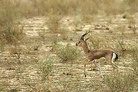 Wild Indian Deer in the Thar Desert near Jaisalmer