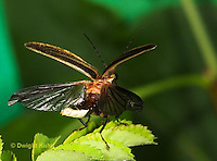1C24-512z  Firefly Adult - Lightning Bug - flying from flower showing four wings - Photuris spp.