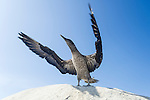 Juvenile Cape Gannet flapping its wings in preparation of first flight, Malgas Island, West Coast National Park, Western Cape, South Africa
