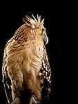 Buffy Fish-owl, Bali Bird Park