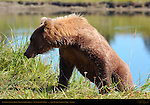 Alaskan Coastal Brown Bear Climbing Bank, Silver Salmon Creek, Lake Clark National Park, Alaska