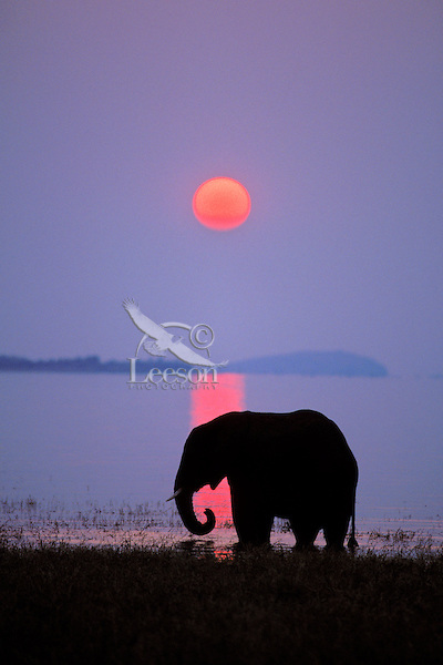 African Elephant (Loxodonta africana) feeding along shore of Lake Kariba, Matusadona National Park, Zimbabwe.  Sunset.  Odd sunset caused by smoke from fires in Zambia.  Farmers usually burn their fields and pastures after the growing season.