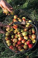 Europe/France/Normandie/Basse-Normandie/14/Calvados/Saint-Désir-de-Lisieux: Chez Thierry Desfrieches propriétaire-récoltant cidre et calva - La récolte des pommes