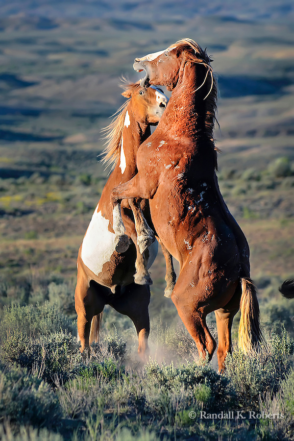 Two wild horses spar near sunset in the sage brush landscape of Sand Wash Basin Wild Horse Management BLM area in northwest Colorado.