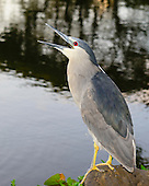 A black-crowned night heron ('auku'u) perched on a rock while fishing, Kaua'i.