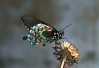 390470002 a wild pipevine swallowtail butterfly battus philenor sits on a dead wildflower in the rio grande valley south texas