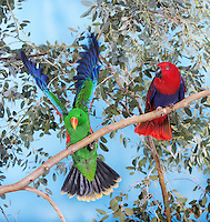 Male and female Eclectus Parrots (Eclectus roratus), Captivity.