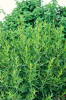 Tarragon, aka French Tarragon, Artemisia dracunculus, foliage herb culinary plant for cooking